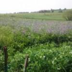 champ de luzerne, vue sur la campagne